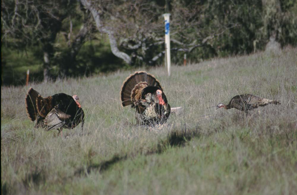 the surprisingly complex social life of the wild turkey alan krakauer