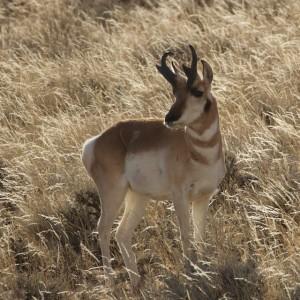 """Pronghorn Antelope (aka """"SpeedGoat"""")"""