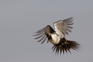 Male sage-grouse leaves the lek