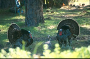 Two male turkeys court a female