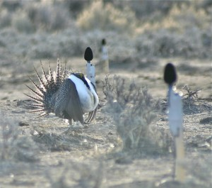 Male sage-grouse near microphones