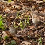 White-throated Sparrows, Albany Hill.