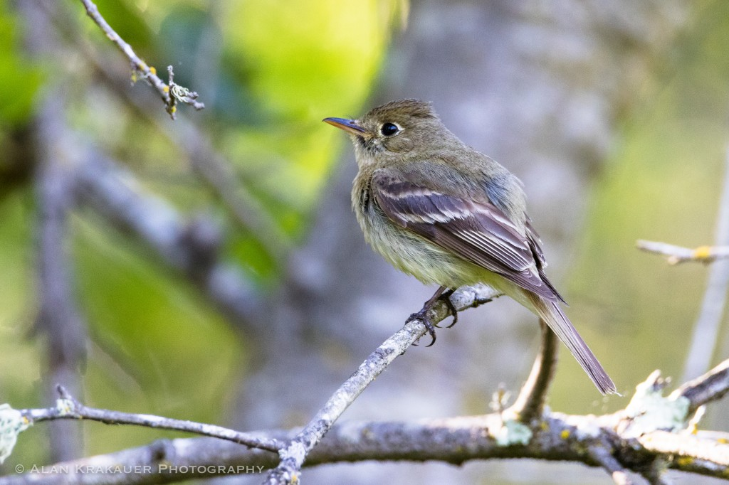 Pacific Slope Flycatcher, Wildcat Canyon
